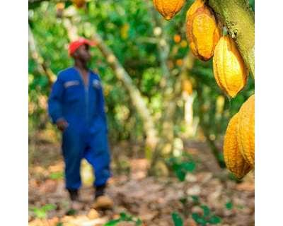 Man walking next to cocoa plants
